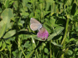 Klaverblauwtje ei-afzettend, Polyommatus semiargus, Limburg