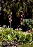 Kleine keverorchis, Neottia cordata