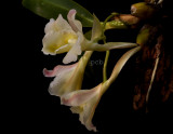 Rodriquezia granadensis  flower 5 cm