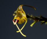 Porroglossum peruvianum,  flower  0.75  cm