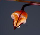 Dracula sodiroi, flower1.5 cm
