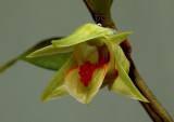 Dendrobium cruentum Rchb. f.   Ueang Nok Kaeo