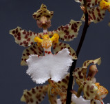 Oncidium jonesianum, flower 5 cm
