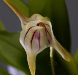 Masdevallia striatelia, botanic ,  flower  1.5 cm