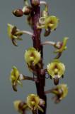 Malaxis lowii, flowers 5 mm