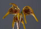 Masdevallia garciae , flower 2 cm