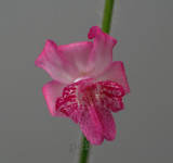 Calanthe cardioglossa, flower  2 cm , Thailand
