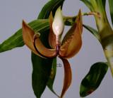 Cycnoches loddigesii,  flower 15 cm