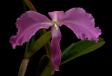 Cattleya labiata,  error of mother nature, tonque is missing