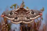 Nachtpauwoog, Saturnia pavonia