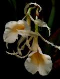 Trichopilia laxa,  flowers  4 cm