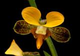 Eulophia streptopetala,  Africa, 3.5  cm