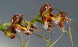 Masdevallia porphyrea, flowers  2 cm
