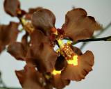 Oncidium praetextum, flowers  4 cm