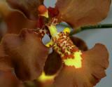 Oncidium praetextum, close flower 4 cm