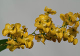 Oncidium cheirophorum, flowers  1 cm