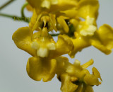 Oncidium cheirophorum, close flower 1 cm