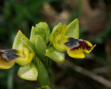 Ophrys phryganae, lutea group