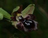 Ophrys cretica ssp. bicornuta