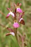 Orchis collina, na fylogenetisch onderzoek  Anacamptis collina, daarna Vermeulenia collina dus u mag kiezen...
