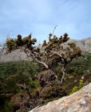 Eik, gedrongen en met takstekels, Kreta