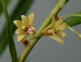 Dendrobium salacense, flowers 1 cm