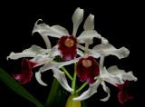 Cattleya purpurata, red, botanic (former Laelia)