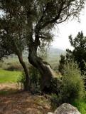 Wilde olijf, Kreta