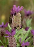Lavandula stoechas, wilde lavendel, Kreta