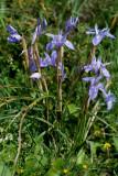 Gynandriris sisyrinchium, wilde iris Kreta
