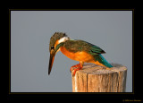 Common Kingfishers gallery III