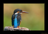 Common Kingfishers gallery I