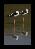 Waders & Shorebirds
