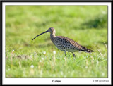 Curlew 2008