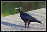 carrion crow.jpg
