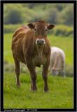cow.jpg