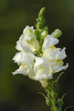 Snap Dragon 2