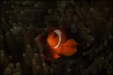 Chiaroscuro spiny cheek clownfish