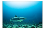 Bula shark (won't eat you)