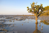 Some Mangrove with air roots at Rud-e-Shir