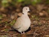 Turkse Tortel / Eurasian Collared Dove