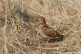 Woodcock - Houtsnip - Scolopax rusticola