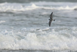 Vaal Stormvogeltje / Leach's Storm-petrel