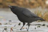 Zwarte Kraai / Carrion Crow