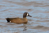 Blauwvleugeltaling / Blue-winged Teal