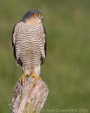Sperwer / Eurasian Sparrowhawk