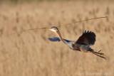 Purperreiger / Purple heron