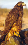 Galapagos Hawk_2.jpg