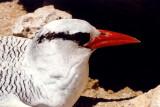 Red-billed Tropicbird_close-up.jpg