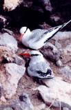 Red-billed Tropicbirds.jpg